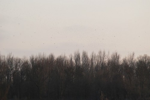Blackbirds going to roost