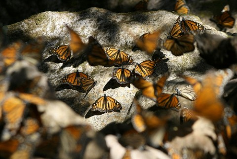 Monarchs resting on rocks, Flickr CC image by Pendens Proditor